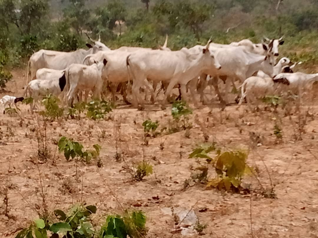 Suspected cattle rustlers were seen in the possession of one Ibrahim Musa and Kabiru Musa all of Ladduga village of Kachia LGA